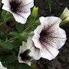 "Petunia [Supertunia White Russian] ""Kerivoryvein"""