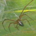 Red Widow Spider