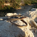 Large Whip Snake (Juvenile)