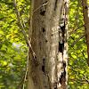 Woodpecker nest holes