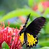 Common birdwing Troides helena