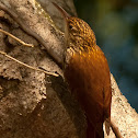 (Scaled woodcreeper)