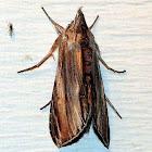 Brown-hooded Owlet Moth