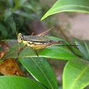 Common Bush Cricket (♀)