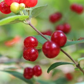 Wild Berries by Bharath Iyer - Nature Up Close Other plants