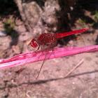 ruddy marsh skimmer