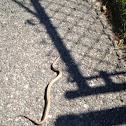 Northern Brown Snake
