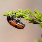 Escarabajo de cuatro puntos