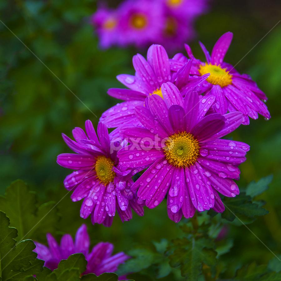 by Miro Cindrić - Flowers Flower Gardens