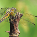 Blue Dasher (Female) Dragonfly