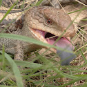Blotched blue-tongued lizard