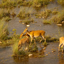 Swamp Deer