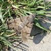 Hummingbird Hawk-moth / Obična golupka