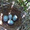 Mockingbird eggs