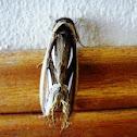 Bush Tailed Moth