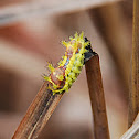 Oriental Moth Caterpillar