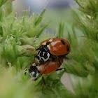 Adonis' Ladybird