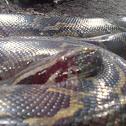 Black-tailed python