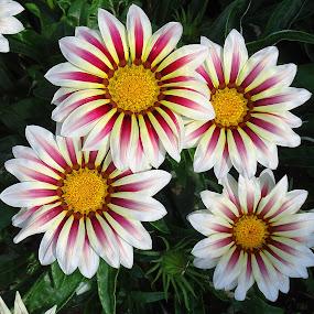 by Gordana Cajner - Flowers Flower Gardens (  )