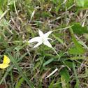 White Star Sedge