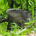 Wishwilly (Garobo) - Green Iguana