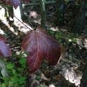 Maple leaf.