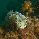 Black-margined Nudibranch