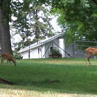 White Tailed Deer with Fawns
