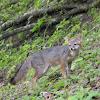 zorro gris - gray fox