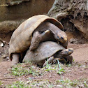 Jabuti-piranga (Red-footed tortoise)