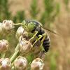 Western Sand Wasp