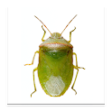 SE Agricultural Stink Bug ID icon