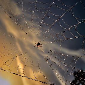 by Slavko Marčac - Nature Up Close Webs ( web, spiderweb,  )