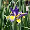 Spuria Iris 'Color Focus'