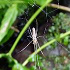 Tetragnathidae spider