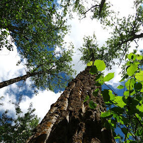 Tall Trees by Chris Bertenshaw - Nature Up Close Trees & Bushes ( tree )