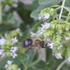 Eastern Carpenter Bee