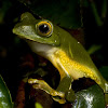 Anamalai Gliding Frog