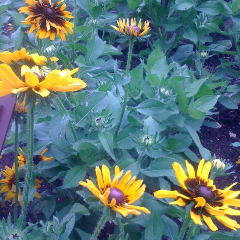 rudbeckia 'denver daisy'
