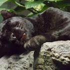 Leopard (Black Panther)