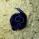 Velvet Headshield Snail