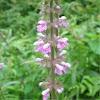 Hybrid Woundwort  Stachys x ambigua (S. palustris x S. sylvatica)