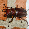 Reddish-brown stag beetle (male)