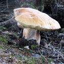 King Bolete Mushroom