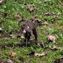 White-Nosed Coati