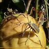 Percevejo do Maracujá (Passion fruit bug)