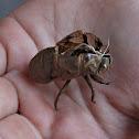 Cicada discarded skin