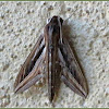 Vine Hawk Moth, Silver-striped Hawk Moth