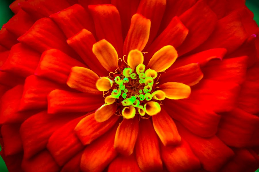 The Love In A Flower by Jenna Sue Bennett - Flowers Single Flower ( orange flower, red flower, marigolds, red flowers, marigold, orange flowers, flowers, flower,  )