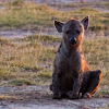 Spotted Hyena (young)